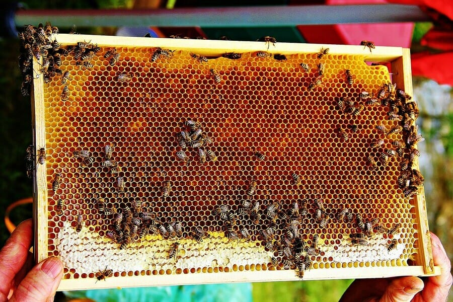 Apiterapia, lecznicze zastosowanie produktów pszczelich